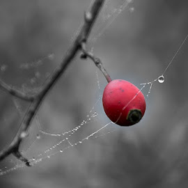 by Siniša Almaši - Nature Up Close Other plants ( red, spider web, view, depth, color, nature, waterdrop, light, natural light, black and white )
