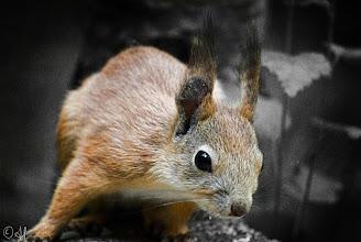Photo: Red Squirrel For #SquirrelSaturday +Squirrel Saturdaywith +Beth Blackwelland +Skippy Sheeskin