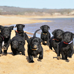 A Plethora of Puppies! by Lisa Bibko-Vanderhoop - Animals - Dogs Portraits ( martha's vineyard, puppies, dogs, ocean, beach )