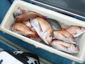 Photo: クマガイさんも少なめで8匹の真鯛でしたー!