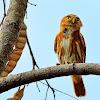 Caburé (Ferruginous Pygmy-Owl)