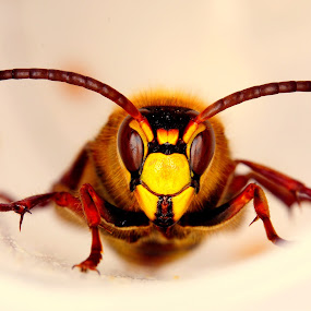 European hornet  by Marko Lengar - Animals Insects & Spiders ( wasp, vespa crabro, hornet, bug, insect )