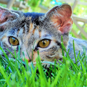 Playing in the grass by Tesla Levine - Animals - Cats Playing