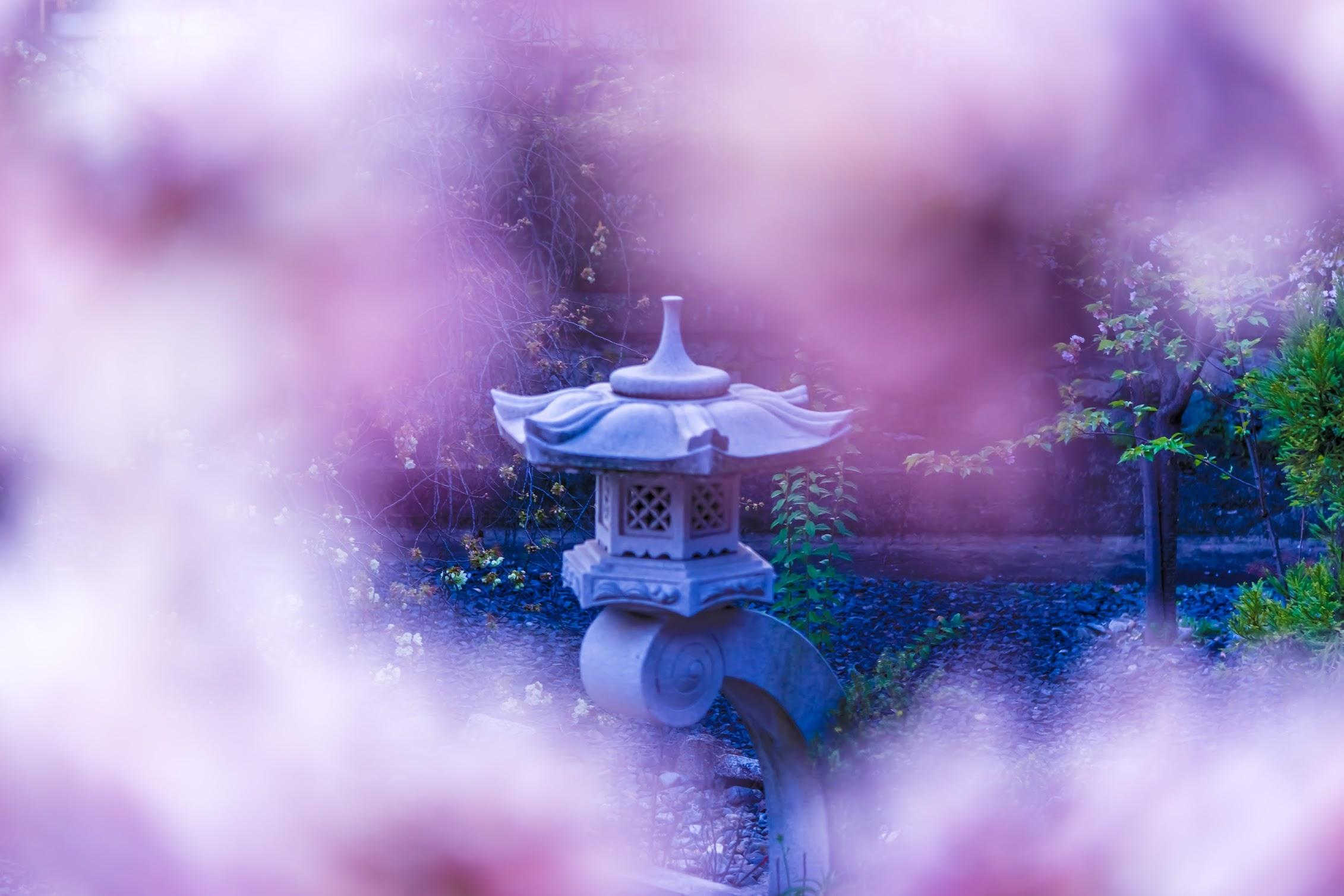 京都 六孫王神社 桜5