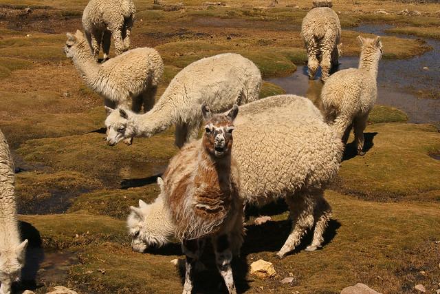 Las vicuñas son parte de las tradiciones fiestas peruanas de junio
