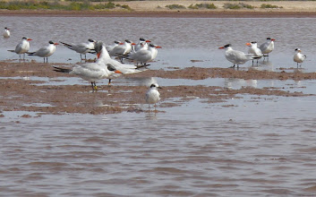 Photo: Caspian terns & smaller Forster's tern.