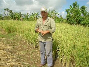 Photo: Luis Romero, engineer & farmer, demonstrating his SRI plot. San Antonio de los Baños, Cuba. (Photo by Rena Perez) 10/4