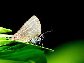 Photo: FELDER'S  HIGHSTREAK--timaeta timaeus--EL ARRAYAN