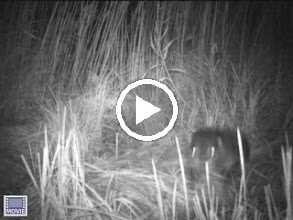 Video: Otter at one of Liz Baldwin's camera research sites