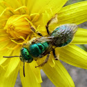 Metallic Green Sweat Bees