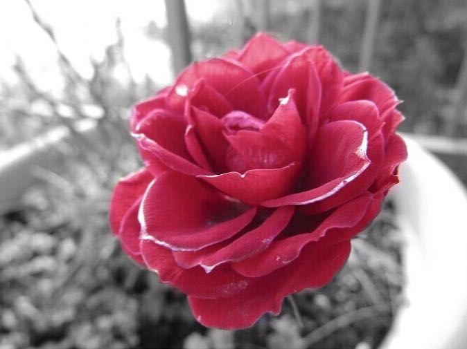 red rose di raccanita