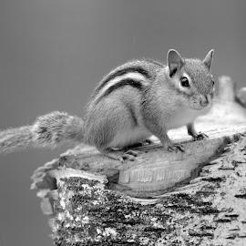 Chipmunk by Steven Liffmann - Black & White Animals ( chipmonk )