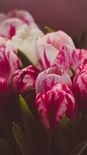 Tulip Wallpapers ss3