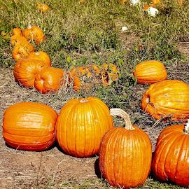 Pumpkins patch. by Peter DiMarco - Public Holidays Halloween ( pumpkin patch, nature, pumpkin, pumpkins, nature up close )