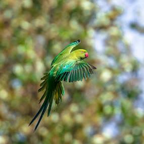 Air Brake. by Pax Bell - Animals Other ( bird, parakeet, rose ring parakeet, rose-ring, flying bird )