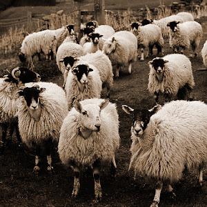 digital-lith-sheep2-web.jpg