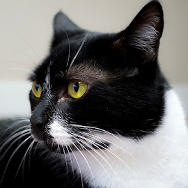Miss Cora by Ashley Ellis - Animals - Cats Portraits ( tuxedo, cat, portrait, pet )