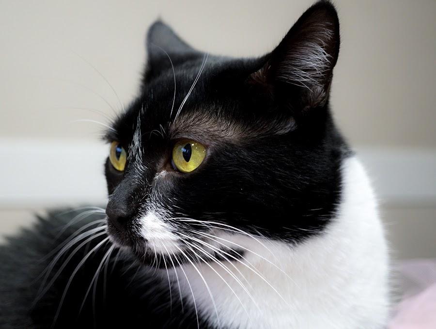 Miss Cora by Ashley Ellis - Animals - Cats Portraits ( tuxedo, cat, portrait, pet )