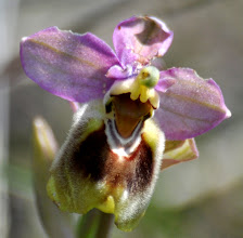 Photo: Ophrys leohroma, Orchidaceae