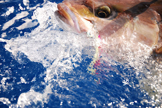 Photo: Vertcial Jigging cancun, deep sea fishing cancun, Isla Mujeres Jigging, Playa del carmen, Riviera Maya, jig, jigging, Ocean tackle International, OTI, H4L jigs, Grand Slam, Kianah, Jigging rods, Deep sea fishing Cancun, Sportfishing Cancun, Isla Mujeres, MX, Avet Reels, Alutecnos Reels, Jigging Cancun, Braid Jiggs, Speed Jigging, Williamson Jiggs, Pakula lures, Moldcraft lures, Islander Lures, Kianah, Grand Slam, fishing cancun, sailfishing cancun, Dorados, isla, Alutecnos Reels, Sport fishing. ed  http://www.deepseafishingcancun.com/  http://www.facebook.com/pages/Kianahs-Sportfishing-Cancun/227548940600707