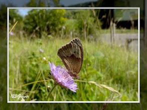 Photo: Myrtil (Maniola jurtina) sur Knautie des champs (Knautia arvensis) près de la Roche trouée
