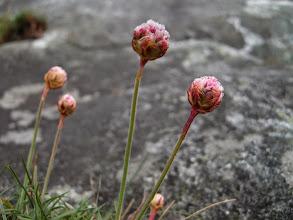 Photo: Knopp av fjørekoll (Strandnellik)