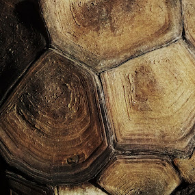 Tortoise Shell by Tom Carson - Nature Up Close Other Natural Objects ( tortoise shell, age, turtle tortoise, brown )