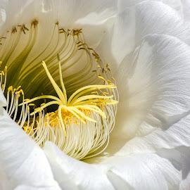 Cactus Flower by Dave Lipchen - Flowers Single Flower ( cactus flower )