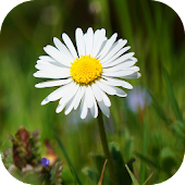 DaisyBG: Flower Wallpaper