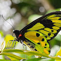 Tithonus Birdwing