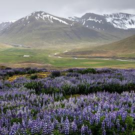 Westfjords by Jen St. Louis - Landscapes Travel ( westfjords, mountains, flowers, iceland, lupines,  )