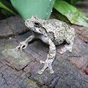 Grey Treefrog