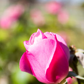 Rose bud by Scott Thomas - Flowers Flower Buds ( #garden, #nature, #pink, #flower, #rose )