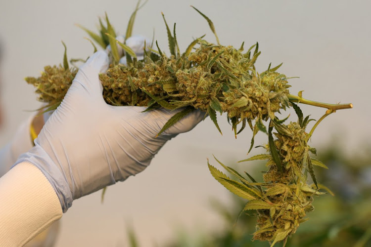 An employee sorts harvested cannabis buds at Hexo Corp's facilities in Gatineau, Quebec, Canada. Picture: REUTERS/CHRIS WATTIE
