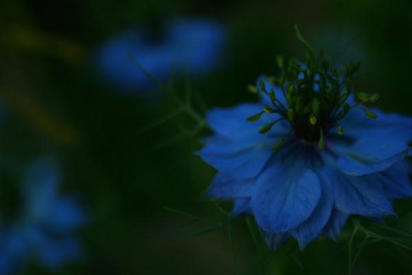 Fiore Blu di NeJi