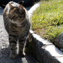 Falera - Flims, Graubunden, Switzerland by Serguei Ouklonski - Animals - Cats Portraits ( cats, outdoors, nature, cat, sun, summer, landscape )