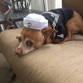 I'm not a Sailor  by Debra Rebro - Animals - Dogs Portraits