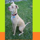 PitBull Terrier Puzzles
