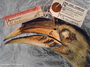 Photo: Male Sulawesi hornbill (Penelopides exarhatus) from Makassar, Sulawesi. © University Museum of Zoology Cambridge & Fred Edwards