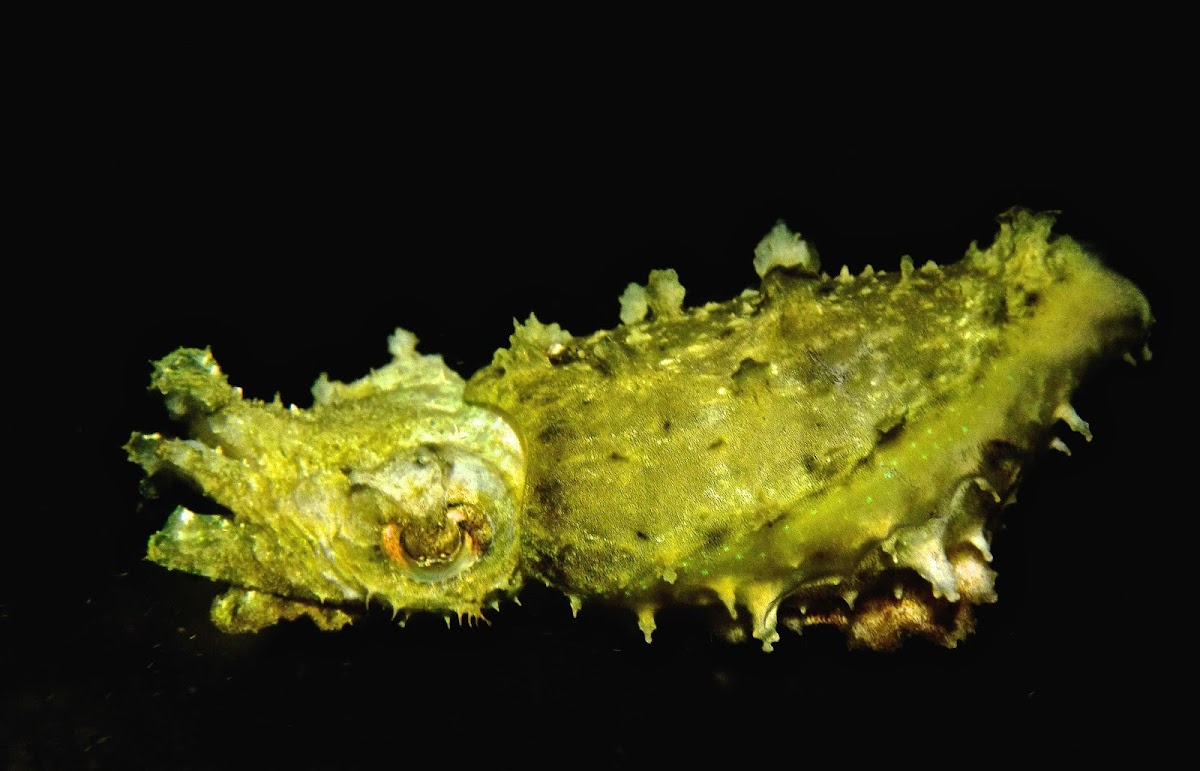 Stumpy-spined Cuttlefish / Dwarf Cuttlefish