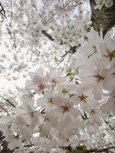 Photo: Pale cherry blossoms under a pale sky at Eastwood Park in Dayton, Ohio.