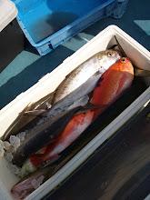 Photo: 釣果です! まずはタムラさん。 種類豊富です! ・・・シイラも未だに釣れてます。 フライにして食べたらめちゃくちゃウマいらしいです!