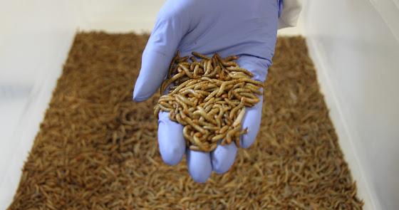 Tecnova investiga el uso de insectos en la elaboración del pan