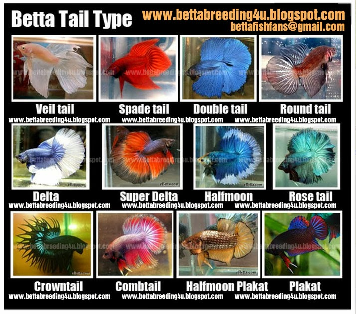 Fighter fish types - photo#8