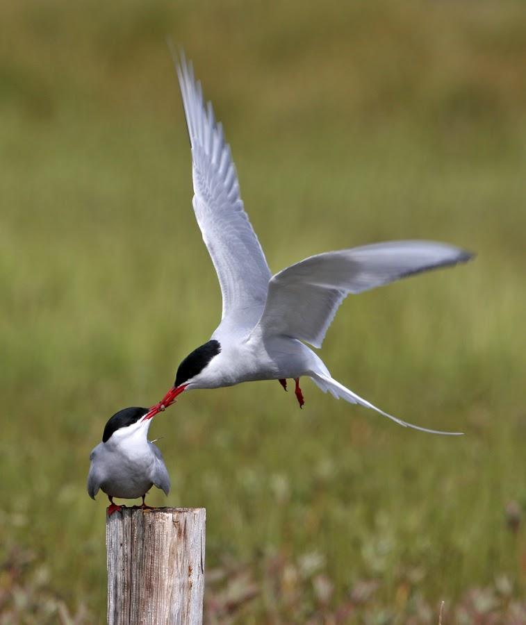 Arctic Tern by Sigurjon Einarsson - Animals Birds ( canon, arctic tern, iceland, tern, kría, ísland, arctic )