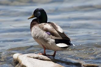 Photo: Mallard (Stockente); Kingston, ON
