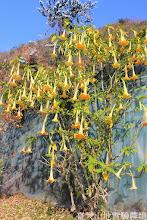 Photo: 拍攝地點: 春陽-可愛植物區前 拍攝植物: 黃花曼陀羅 拍攝日期: 2015_02_10_FY