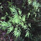Bambú Ornamental