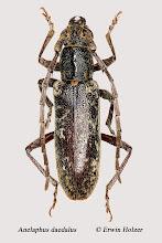Photo: Anelaphus daedalus, 12,8 mm, Costa Rica, San José (09°58´/-84°04´), leg, Erwin Holzer, det. Herbert Schmid