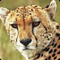 Cheetah live wallpaper icon